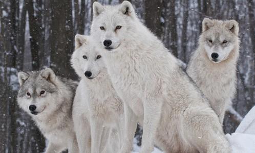 但狼却是最团结的动物